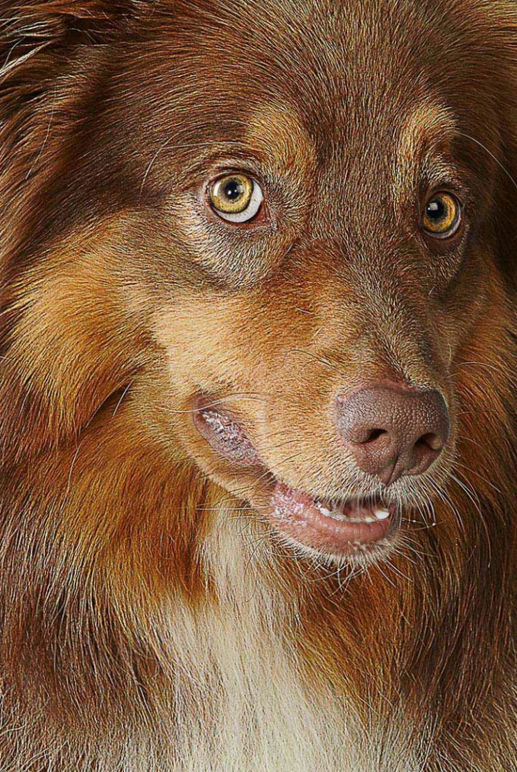 Closeup of Australian Shepherd Dog looking at camera Copyright Gandee Vasan