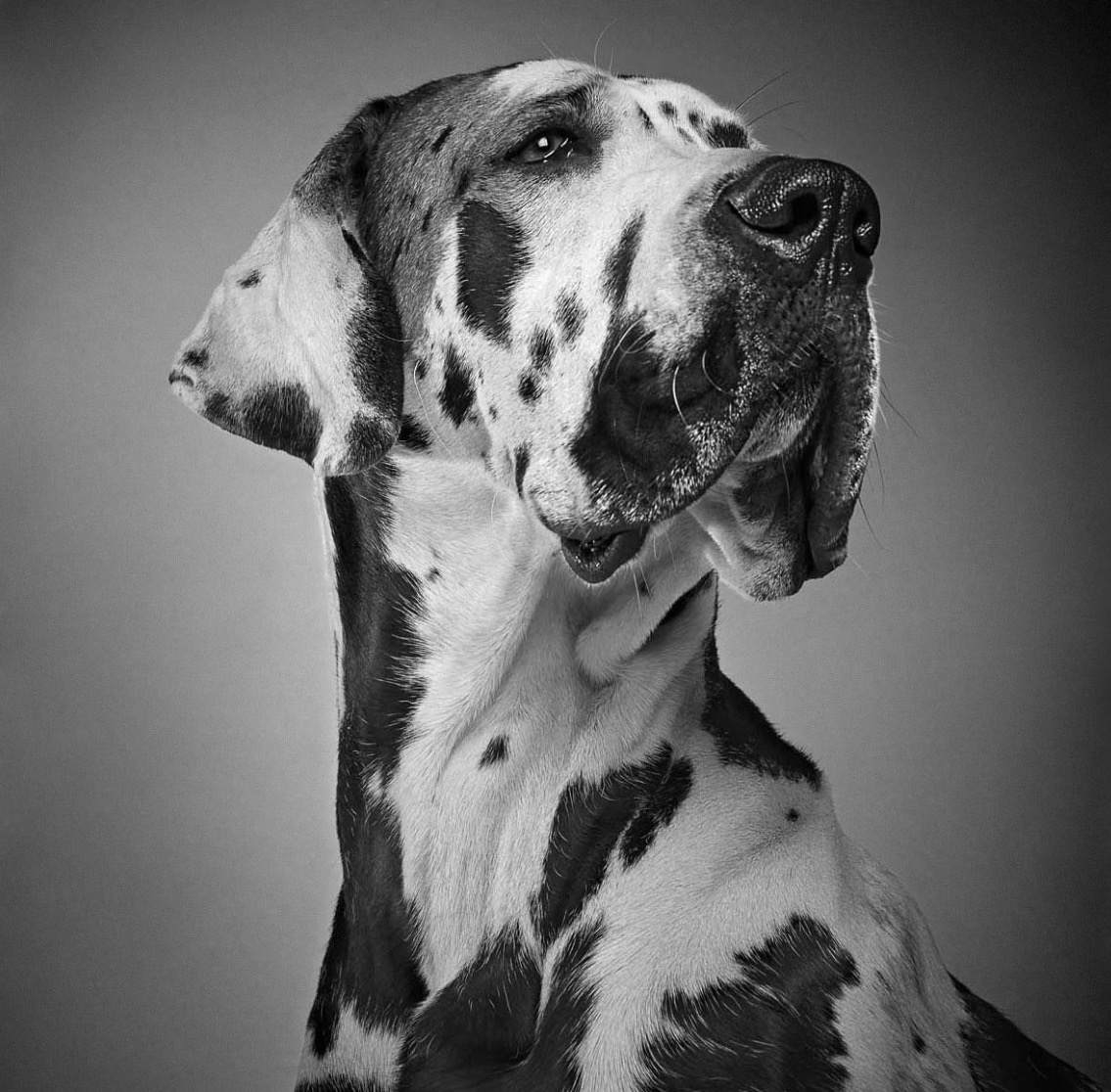 Harlequin Great Dane Copyright Gandee Vasan