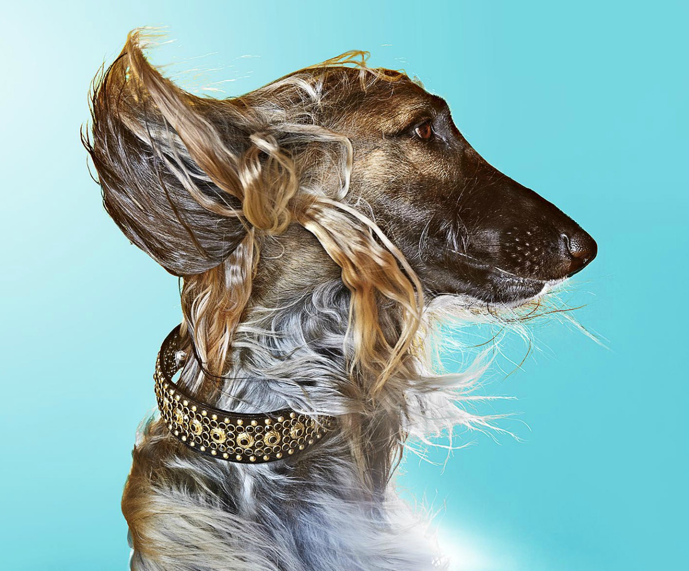 Profile of Afghan Hound against blue background with wind blowing against the face Copyright Gandee Vasan