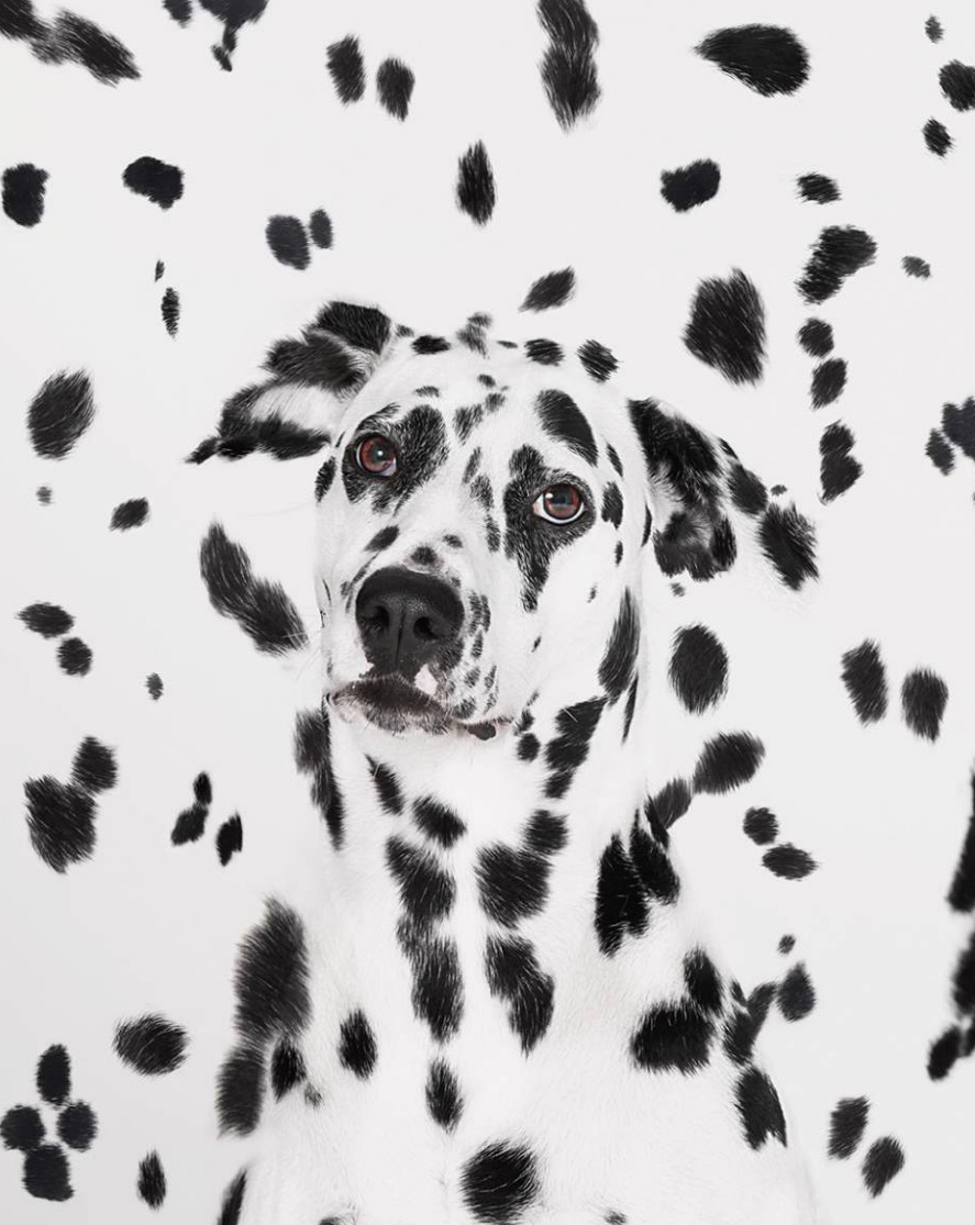 A face of a Dalmatian dog emerging from spots Copyright Gandee Vasan