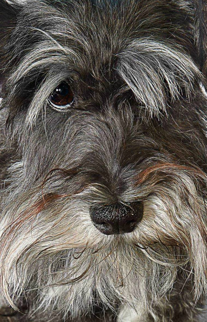 Mini Schnauzer Dog Closeup Copyright Gandee Vasan