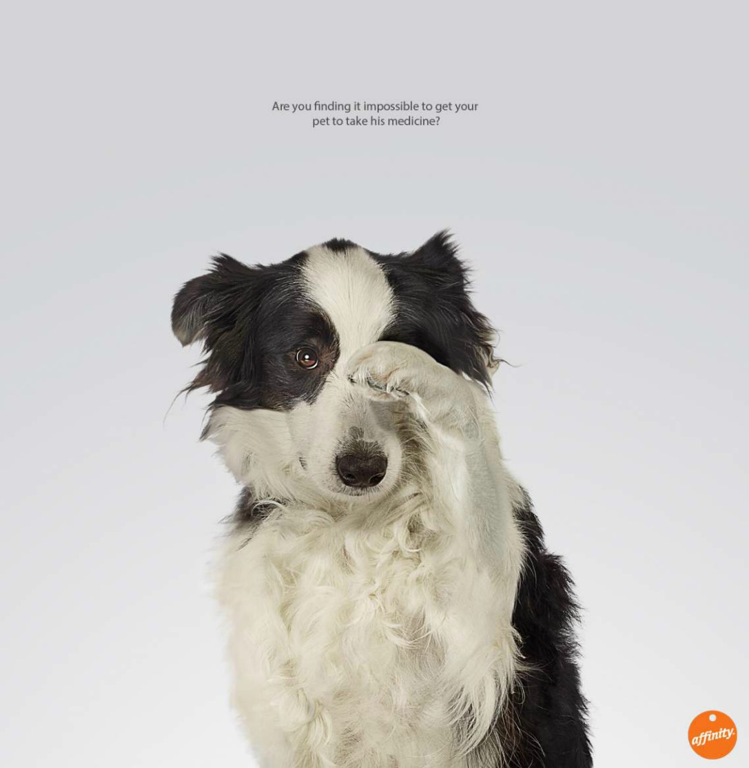 Border collie (Canis lupus familiaris) covering eye with paw Copyright Gandee Vasan