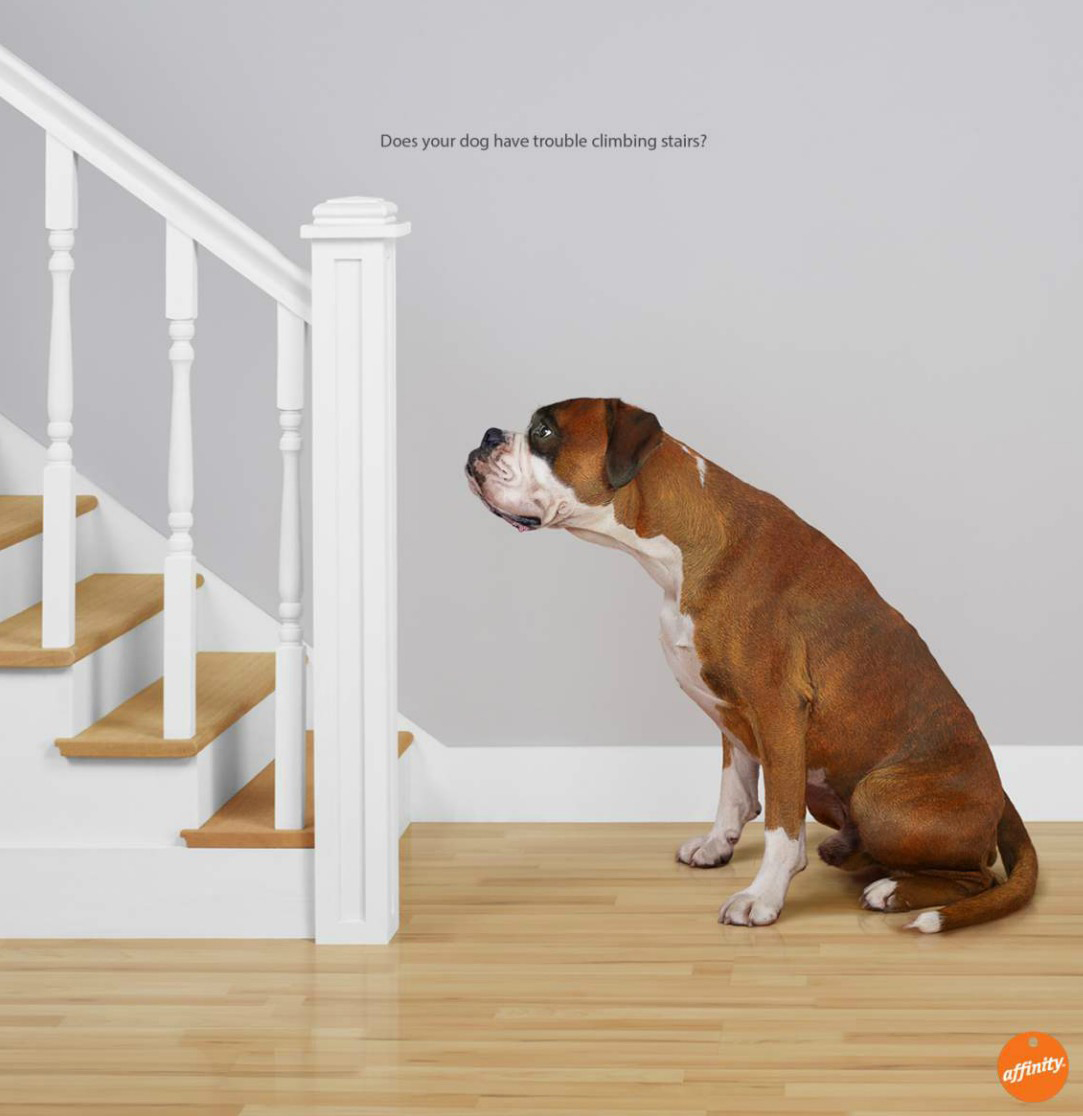 Boxer dog at bottom of stairs, profile The Latin name for all dogs is Canis Familiaris Copyright Gandee Vasan
