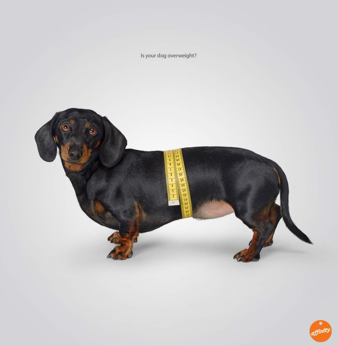 Dachshund Tape Measure Dashshund male dog profile portrait looking forward on a white background in studio Copyright Gandee Vasan