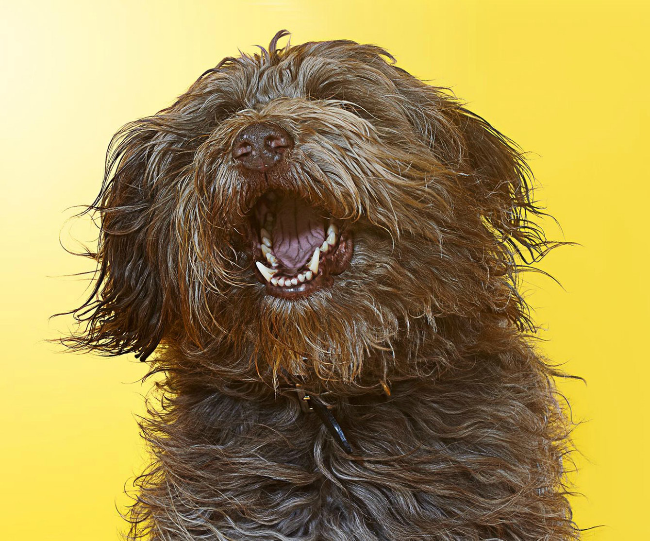 Labradoodle dog singing Copyright Gandee Vasan