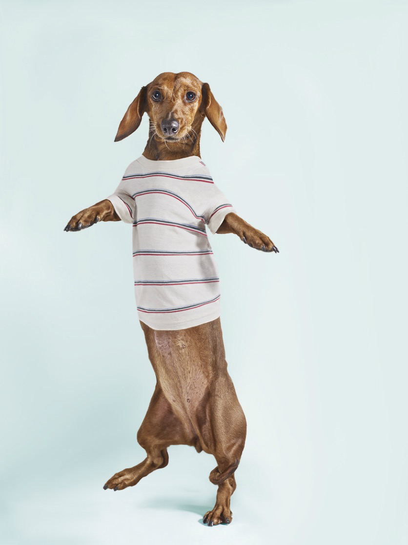 Standing Dashchund Dog Wearing Striped T-Shirt Copyright Gandee Vasan