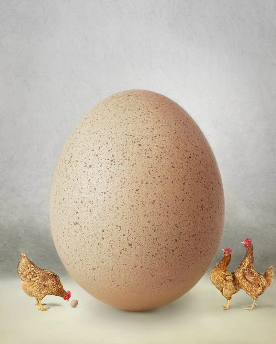 Chickens looking at giant egg while one looks at small egg Copyright Gandee Vasan