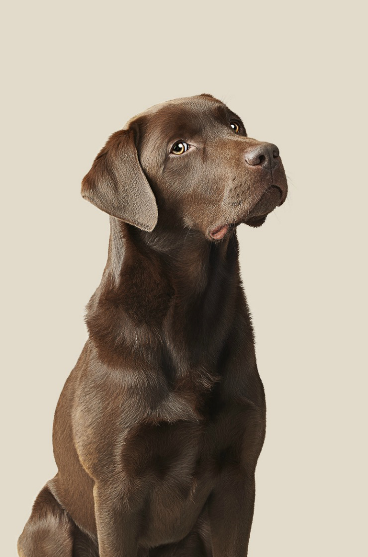 Face of Chocolate Labrador Copyright Gandee Vasan