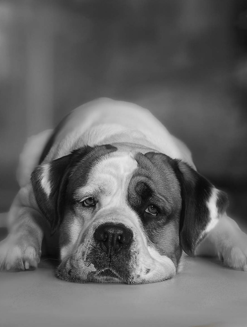 English Bulldog lying on floor, close-up Copyright Gandee Vasan