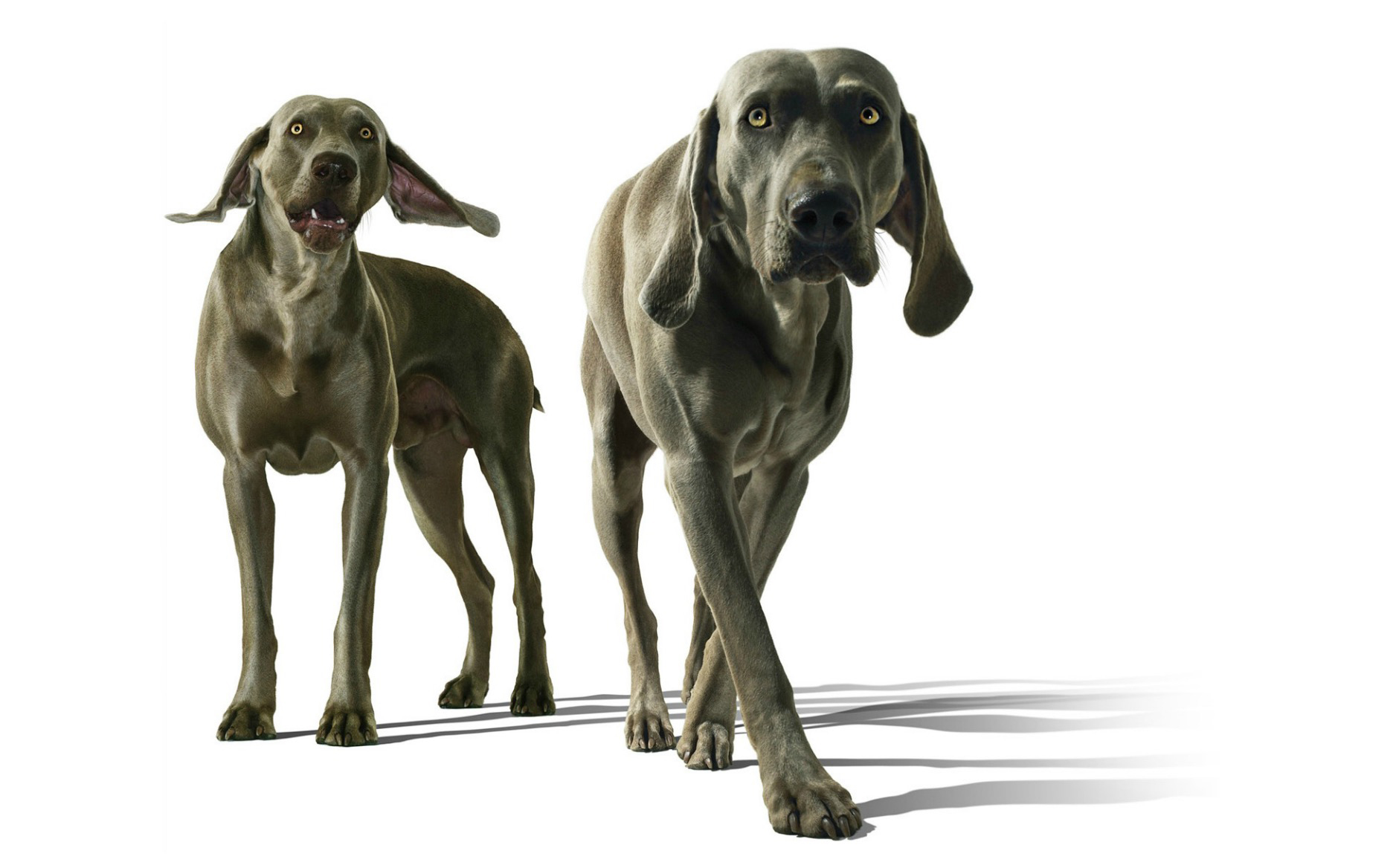 Two weimeraner retrievers against white background, close-up Copyright Gandee Vasan