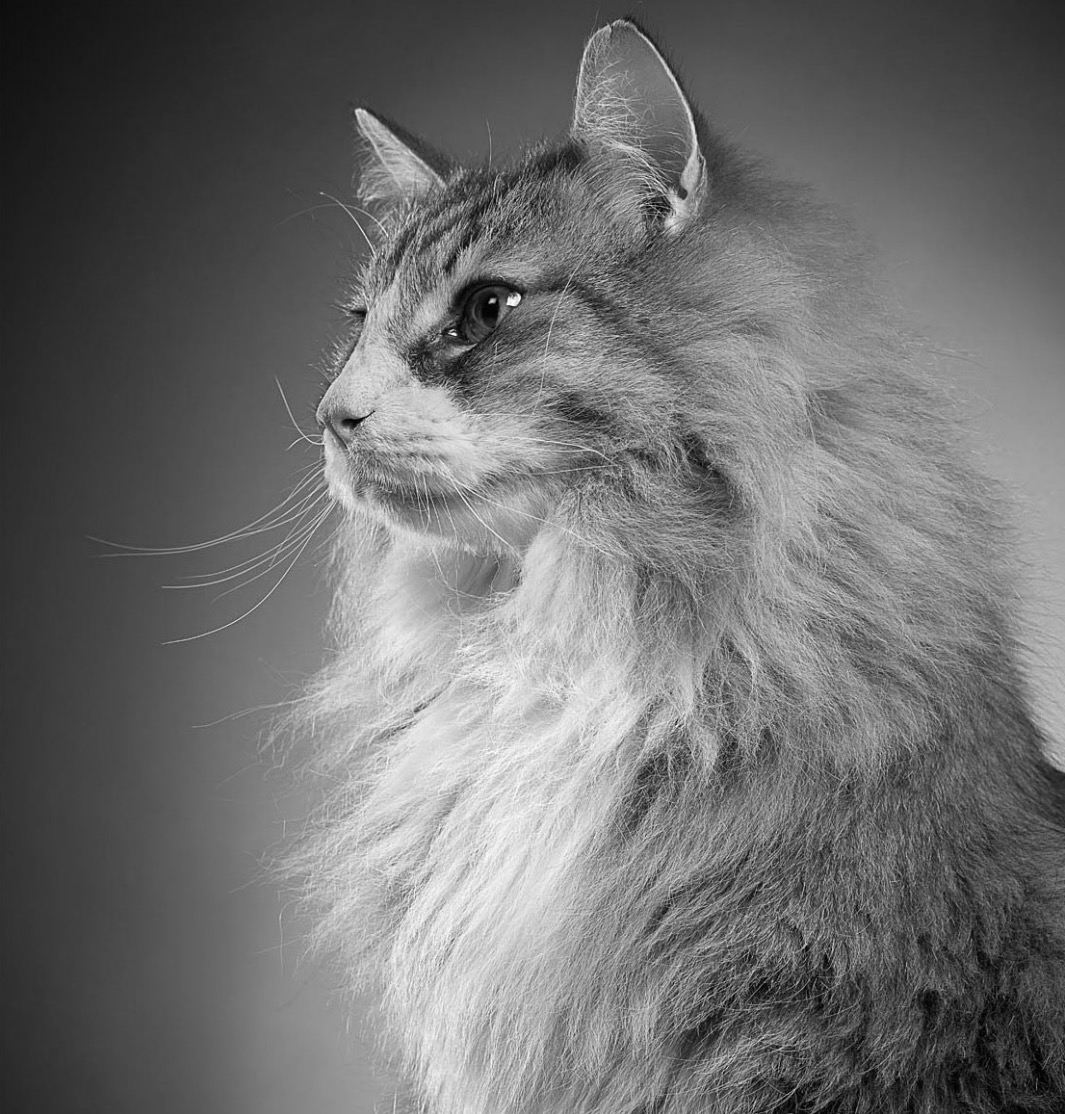 Norwegian forest cat norwegian forest cat It
