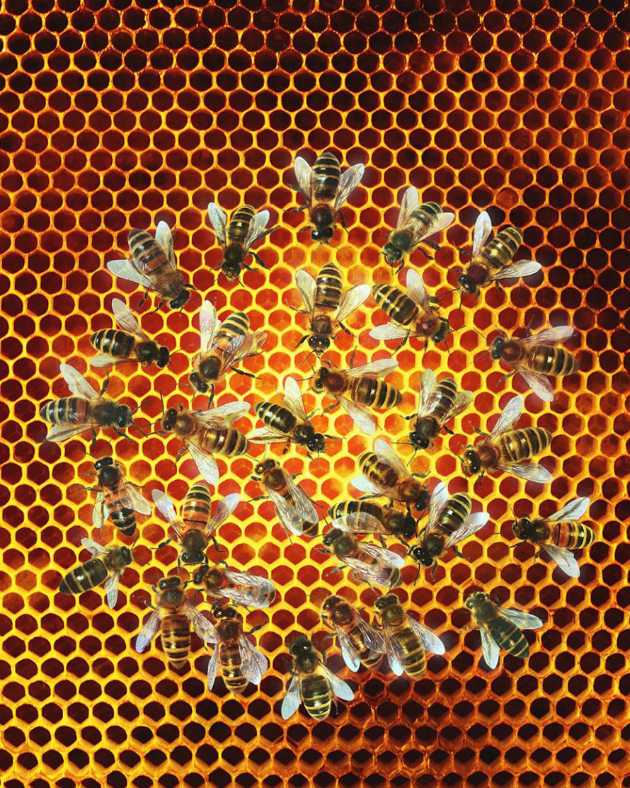 Bees (Apis mellifera) on honeycomb, overhead view Copyright Gandee Vasan