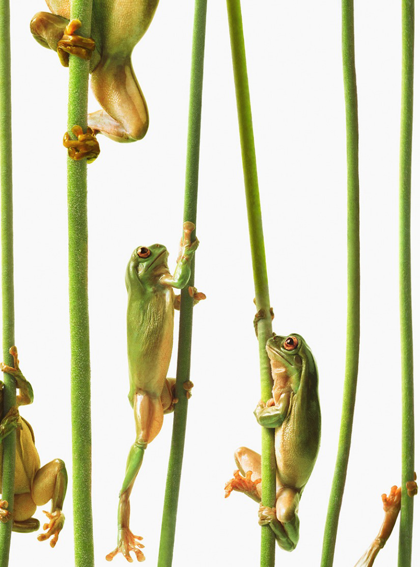 Australian tree frogs climbing stalks