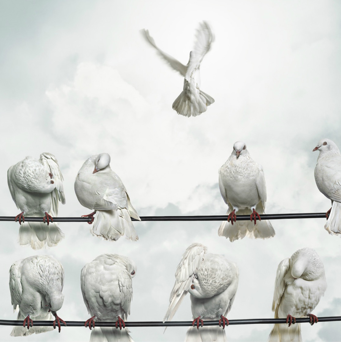 Doves perched on wires, one flying away (Digital Composite) Doves (Columbidae) Copyright Gandee Vasan