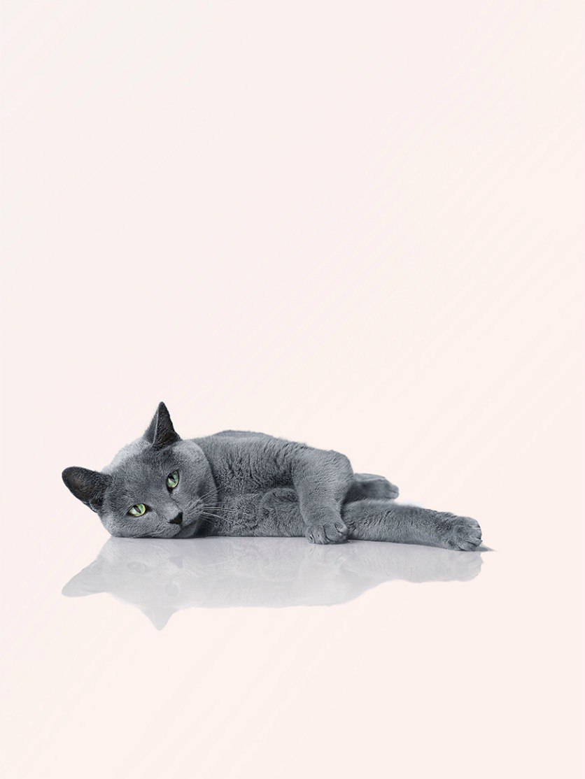 Russian blue cat lying down  on it