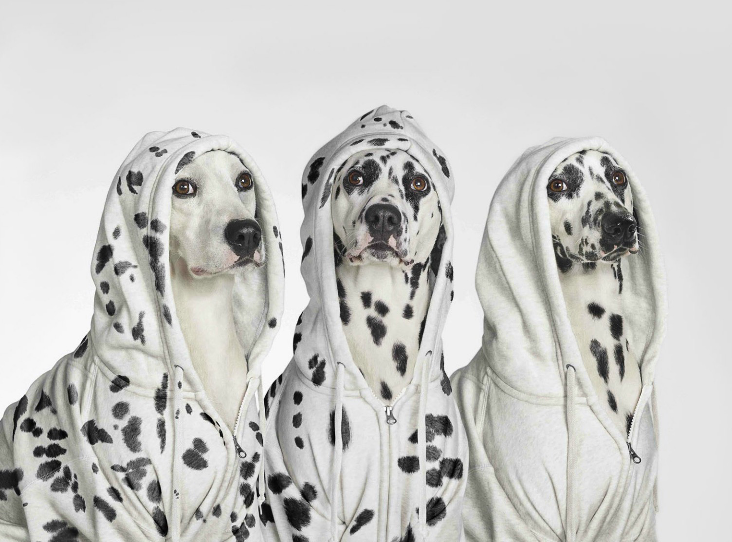 Dalmatians wearing hoodies
