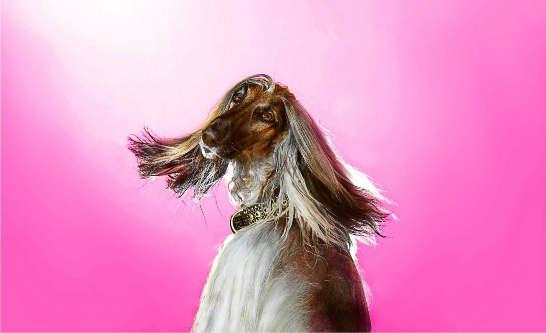Afghan Hound turning head against pink background with hair sweeping in the wind. Copyright Gandee Vasan