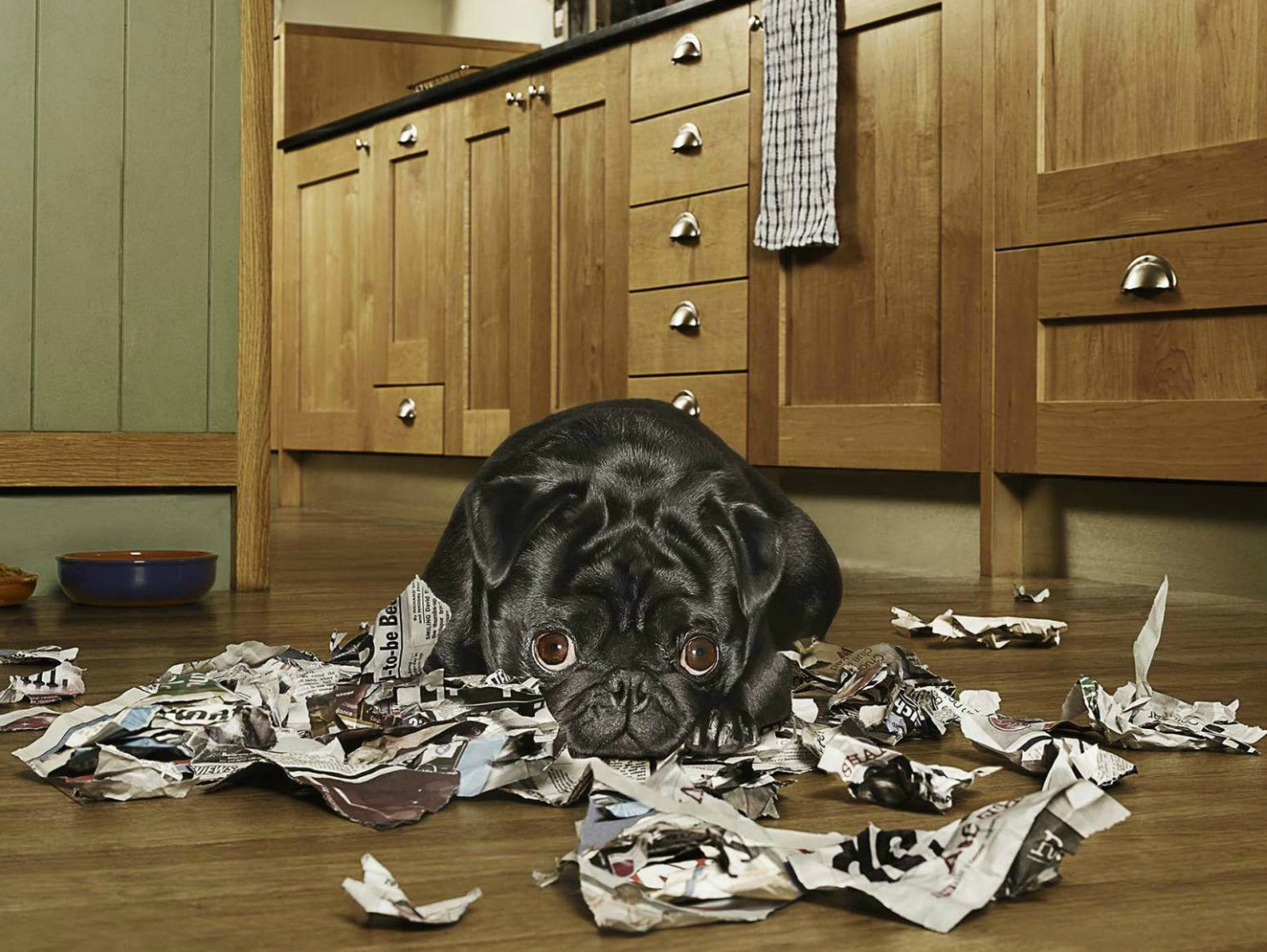 Guilty Dog (Black Pug) looking guilty after tearing up newspaper in the kitchen Copyright Gandee Vasan