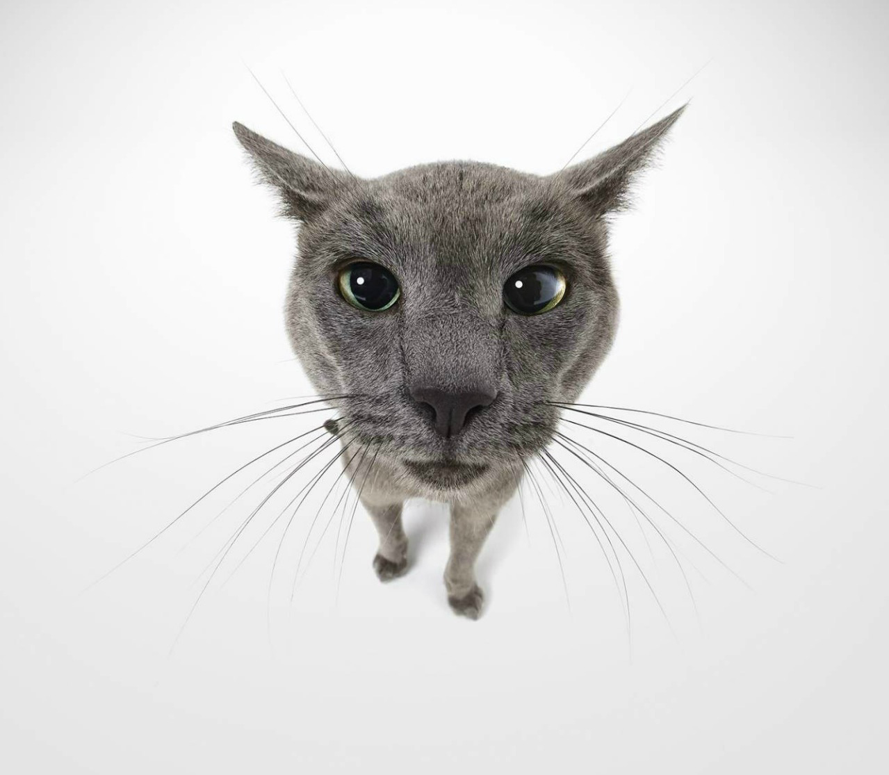 Wide angle shot of Russian Blue cat staring at camera Copyright Gandee Vasan