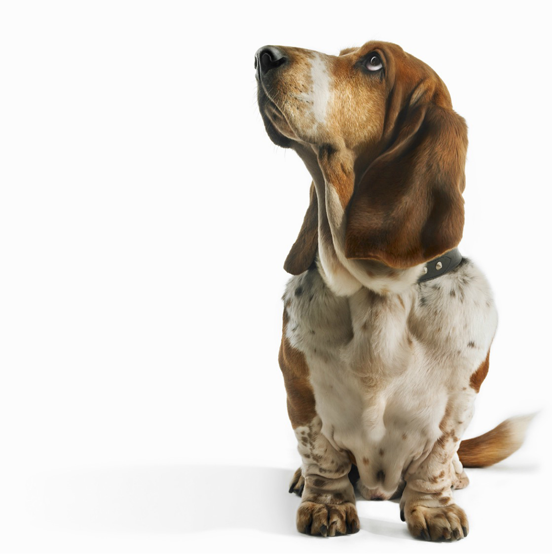 Basset Hound looking up longingly on white background Copyright Gandee Vasan