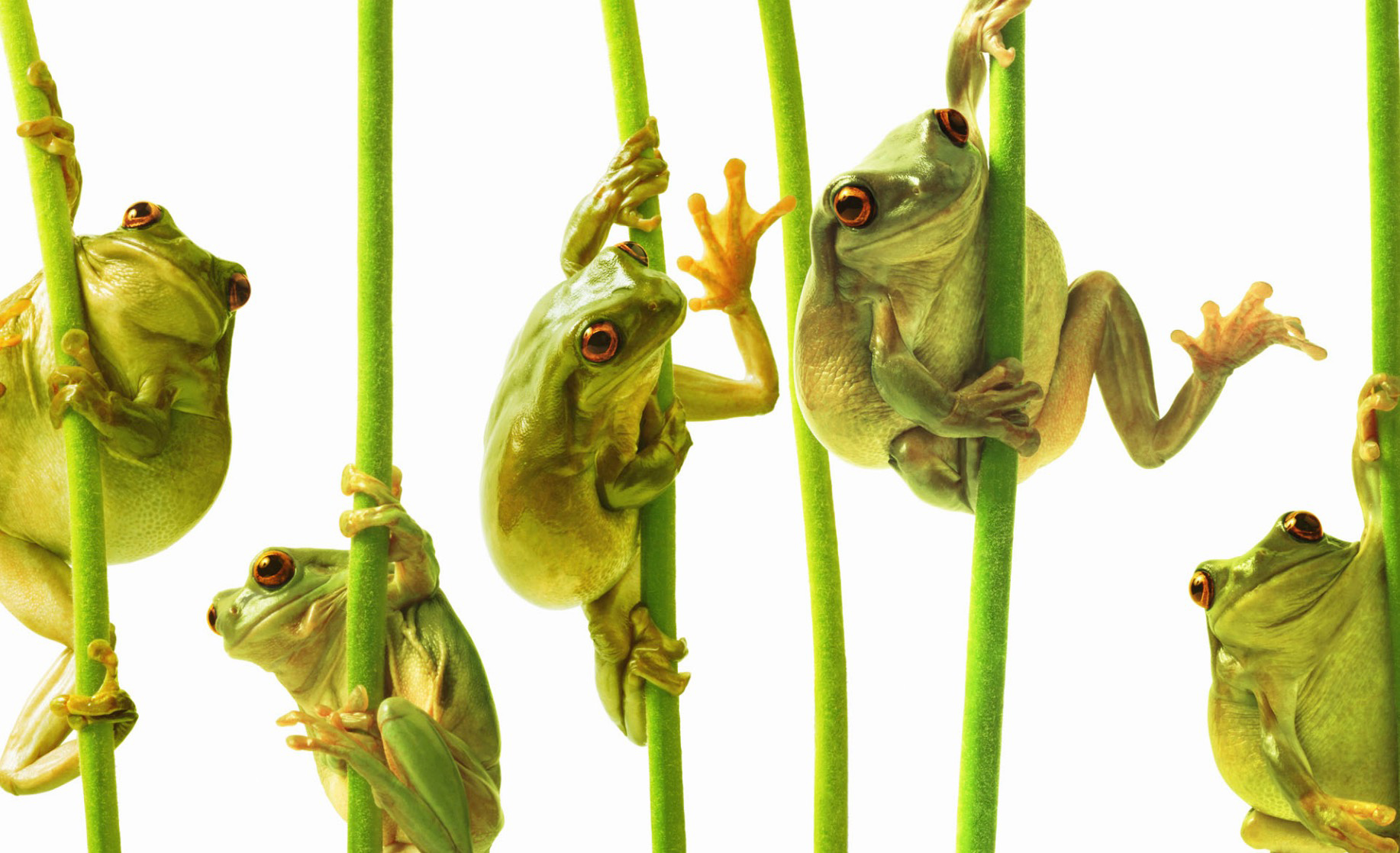 Whites tree frogs climbing plant stems, close-up (Digital Composite) Whites tree frog (Litoria caerulea) Copyright Gandee Vasan