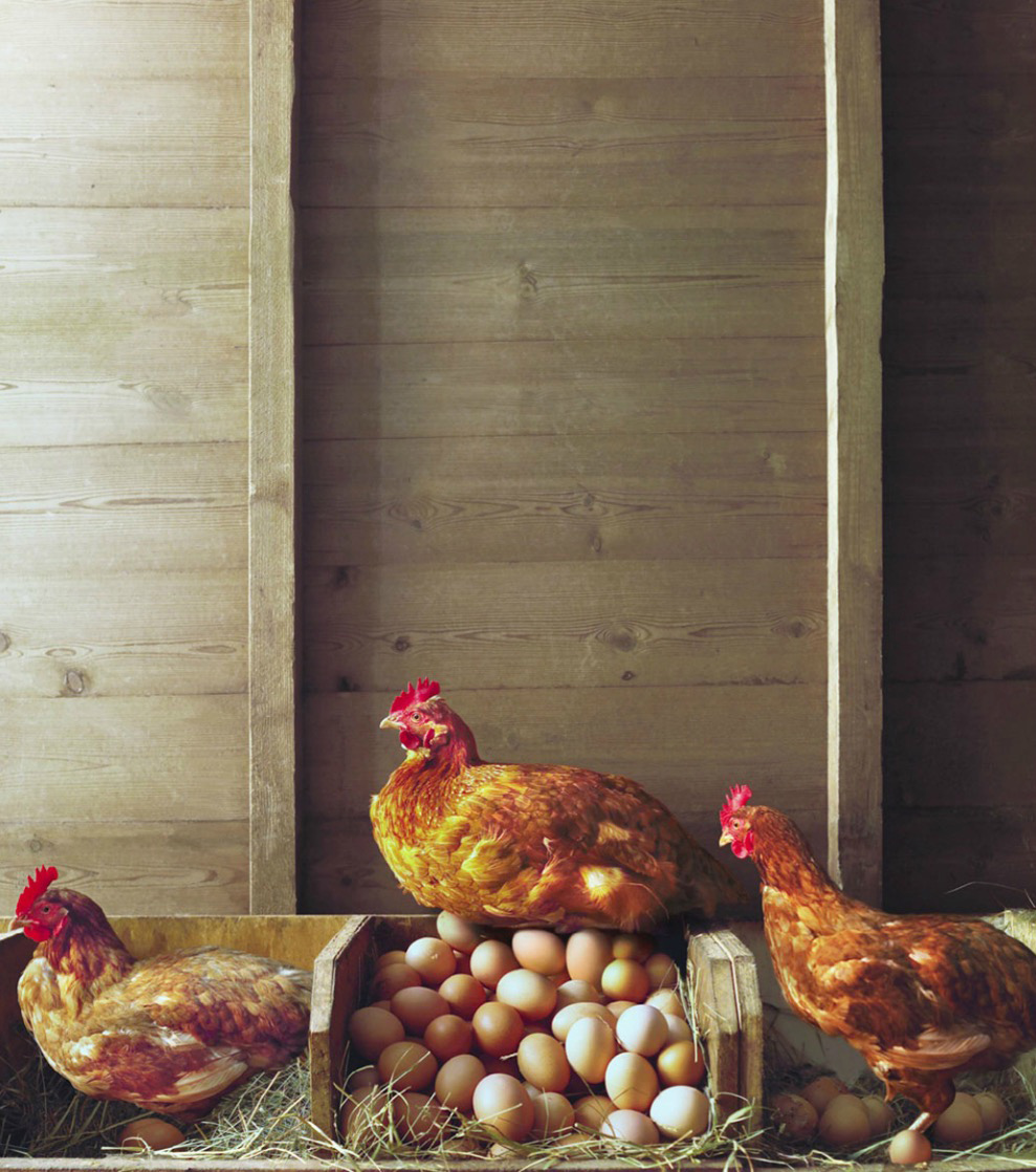 Row of chickens in coop, one sitting on pile of eggs Copyright Gandee Vasan