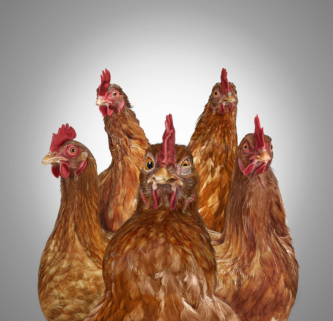 Five startled chickens. One dominant in front with pumped out chest Copyright Gandee Vasan
