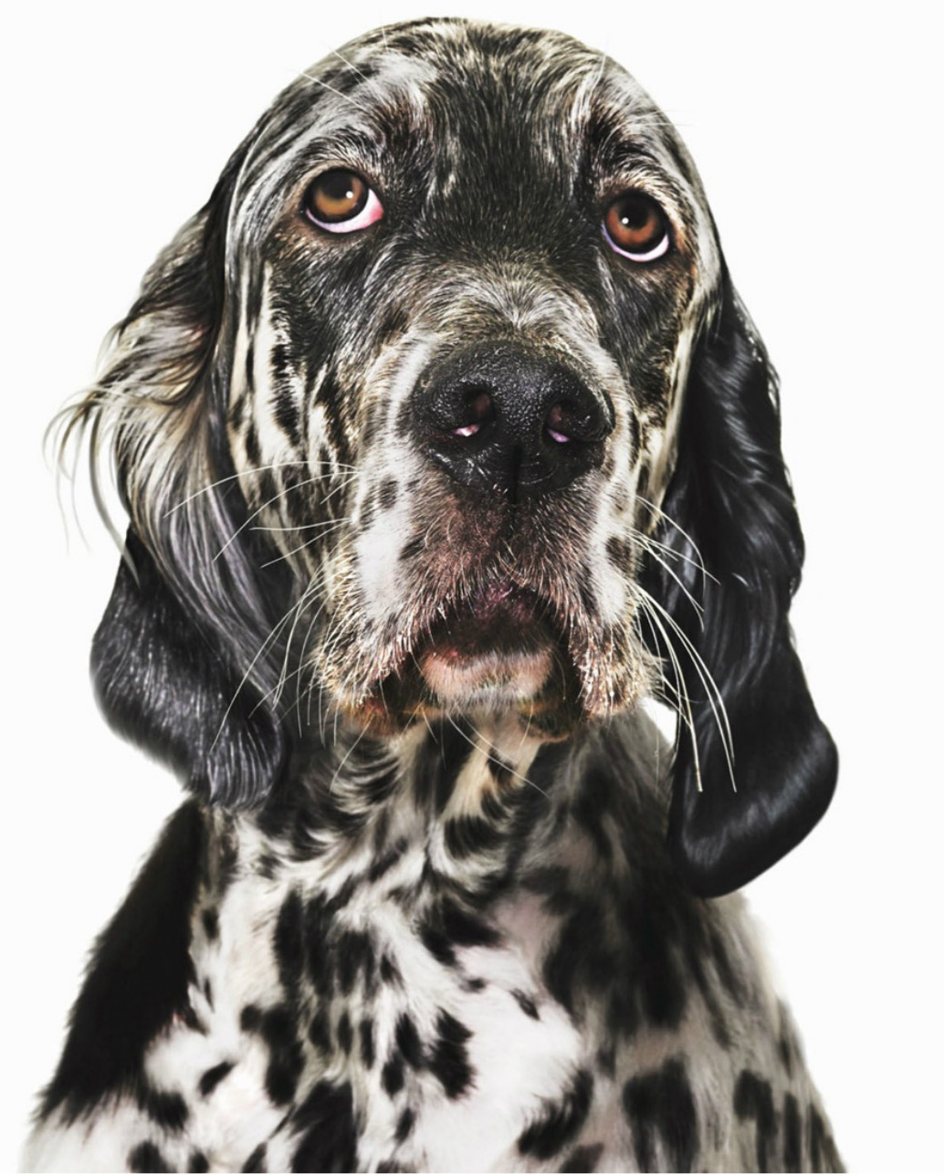 English setter, close-up Copyright GandeeVasanDog100
