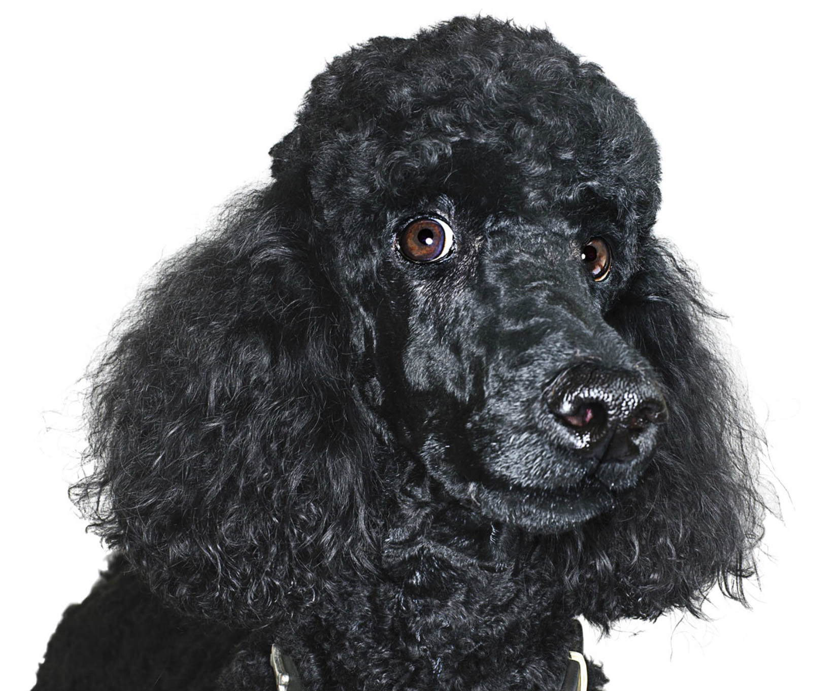 Portrait of dog, black Standard Poodle on white background CopyrightGandeeVasanDog102