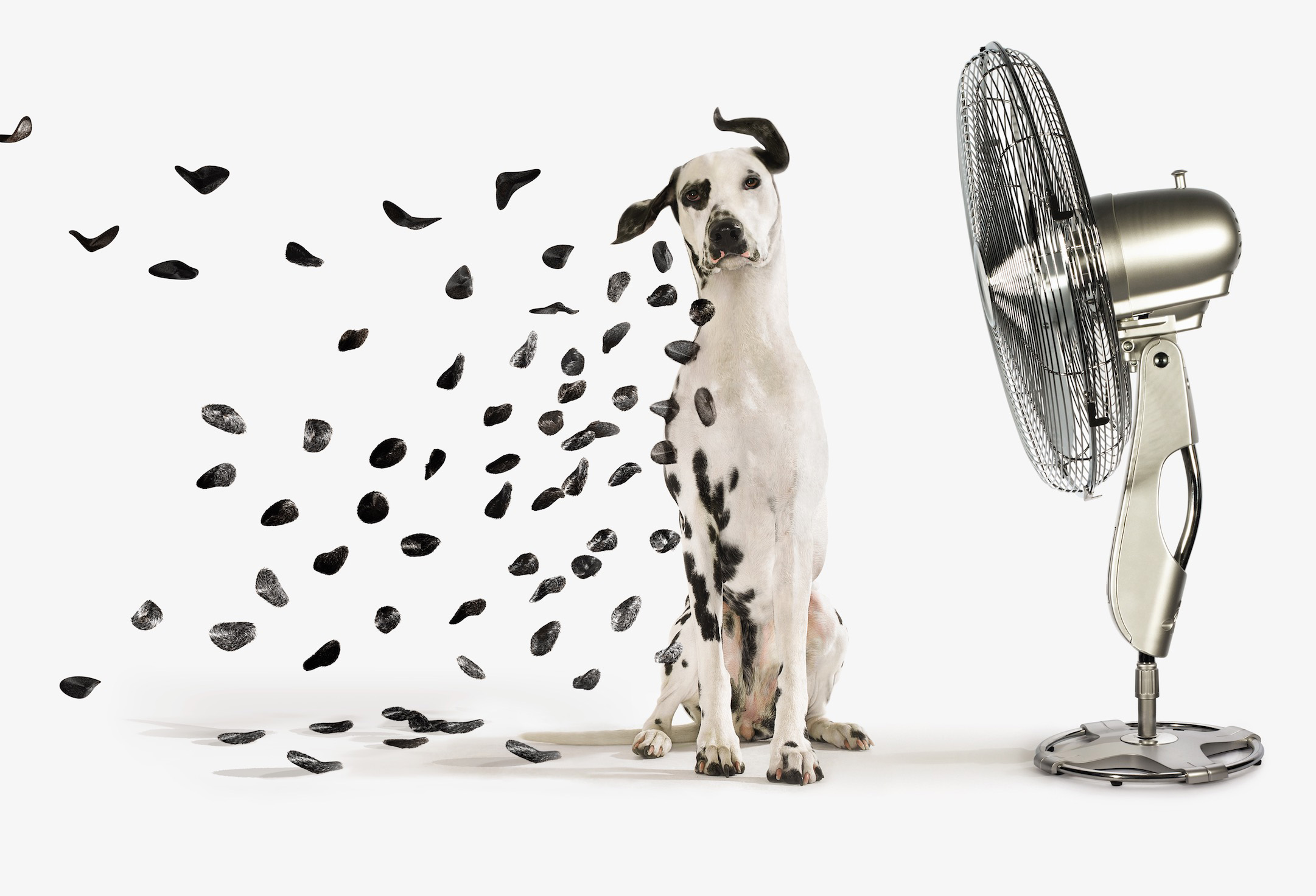 Fan Blowing spots off Dalmatian dog CopyrightGandeeVasanDog104