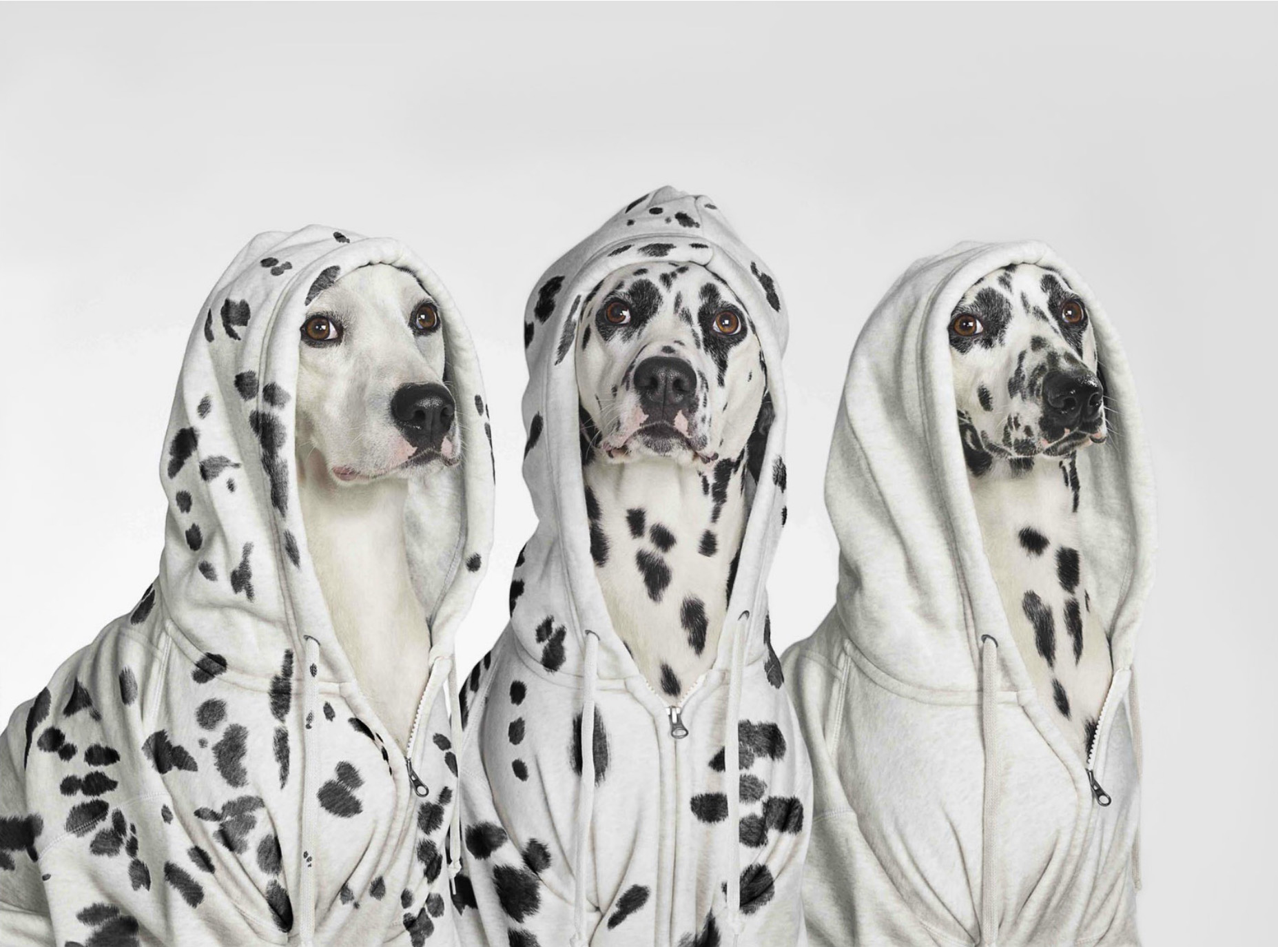 Three dalmatian dogs wearing hoodies with spots juxtaposed on fur and clothes. CopyrightGandeeVasanDog24