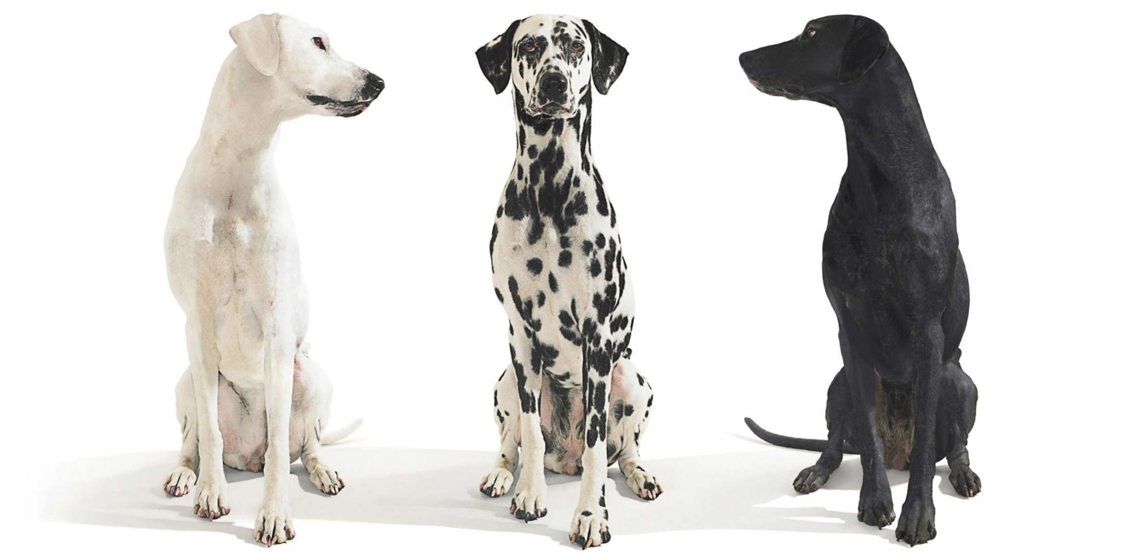 Black and white dogs looking towards dalmation CopyrightGandeeVasanDog25