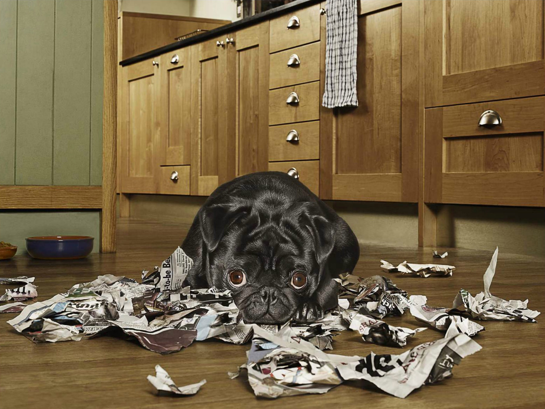Dog (Black Pug) looking guilty after tearing up newspaper in the kitchen CopyrightGandeeVasanDog6